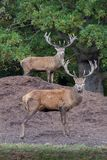 Maschi dei cervi rossi Fotografia Stock