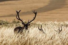 Maschi dei cervi rossi Fotografia Stock Libera da Diritti
