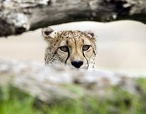 Maschio adulto del ghepardo africano dietro il grande gatto dell'albero Fotografia Stock Libera da Diritti