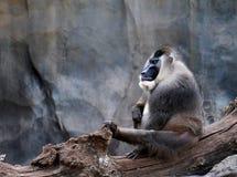 Maschio adulto di leucophaeus di mandrillo del trapano, santuario di Pandrillus, scimmia immagine stock libera da diritti