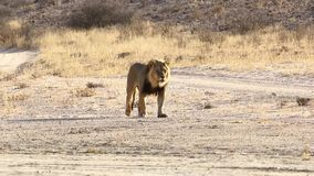Maschio adulto Lion Walking archivi video
