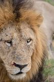 Maschio adulto selvaggio Lion Close Up Fotografia Stock Libera da Diritti