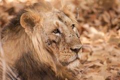 Maschio asiatico del leone danneggiato nella lotta teritorial Fotografia Stock