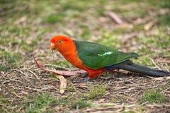 Maschio australiano del pappagallo di re Immagini Stock Libere da Diritti