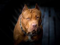 Maschio Brown di Pit Bull Terrier fotografie stock libere da diritti