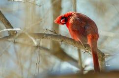 Maschio cardinale nordico Fotografia Stock
