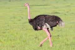 Maschio comune o struzzo masai che Strutting nei masai Mara immagini stock libere da diritti