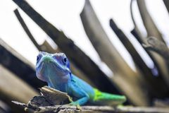 ` Maschio cubano s Anole di Allison della lucertola anche conosciuto come il anole dalla testa blu - Varadero, Cuba immagine stock