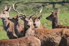 Maschio dei cervi con i corni Fotografia Stock