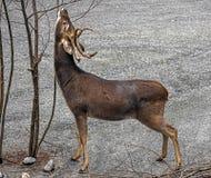 Maschio dei cervi del ` s di Eld Immagini Stock