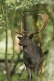 Maschio dei cervi di aratura Fotografia Stock Libera da Diritti