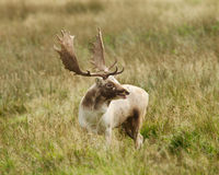 Maschio dei cervi di aratura che si gira verso l'azione di vista Fotografia Stock