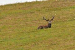 Maschio dei cervi nella stagione della carreggiata sul prato fotografia stock libera da diritti