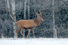 Maschio dei cervi nobili, animale adulto potente maestoso con i corni fuori della foresta invernale, ceca Fauna selvatica da Euro immagine stock libera da diritti