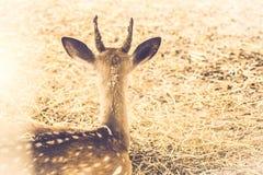 Maschio dei cervi nobili che si siede nel campo al bordo del tono d'annata di forestsepia Fondo della natura della fauna selvatic immagini stock