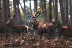 Maschio dei cervi nobili con i hinds nella foresta il Reno-Westphali del nord di autunno Fotografia Stock