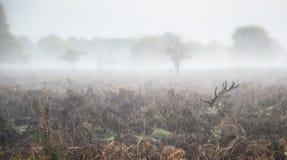 Maschio dei cervi nobili nel paesaggio nebbioso atmosferico di autunno Fotografia Stock
