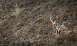 Maschio dei cervi nobili su Hillside scozzese Fotografie Stock Libere da Diritti