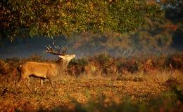 Maschio dei cervi rossi Fotografia Stock