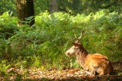 Maschio dei cervi rossi durante la stagione di caduta di autunno Fotografia Stock