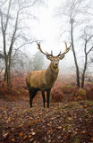 Maschio dei cervi rossi nel paesaggio nebbioso della foresta di autunno immagine stock