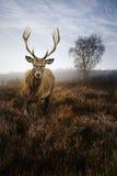 Maschio dei cervi rossi nel paesaggio nebbioso di caduta di autunno Fotografia Stock Libera da Diritti