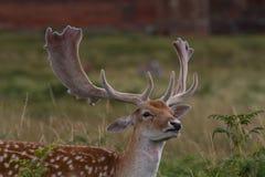 Maschio dei daini, al parco di Bradgate, Leicesterschire Immagini Stock