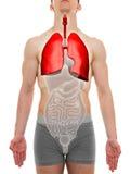 Maschio dei polmoni - anatomia degli organi interni - illustrazione 3D Fotografia Stock Libera da Diritti