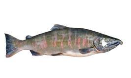 Maschio dei salmoni 2 Immagine Stock