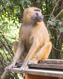 Maschio del babbuino fotografia stock libera da diritti