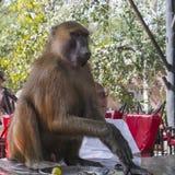 Maschio del babbuino immagine stock libera da diritti