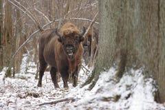 Maschio del bisonte Fotografie Stock