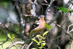 Maschio del Chaffinch in foresta Immagini Stock