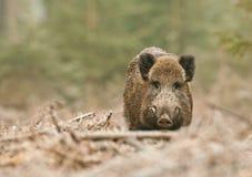 Maschio del cinghiale in foresta tedesca Immagine Stock Libera da Diritti