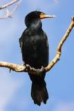 Maschio del cormorano a doppia cresta Fotografia Stock