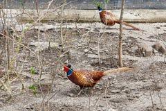 Maschio del fagiano sull'azienda agricola degli uccelli Fotografia Stock