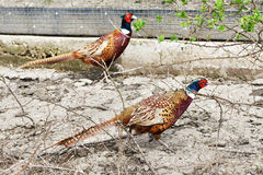 Maschio del fagiano sull'azienda agricola degli uccelli Immagini Stock