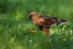 Maschio del falco di palude, andante in tutto il prato Fotografia Stock Libera da Diritti