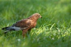 Maschio del falco di palude, sedentesi sul prato e guardante al righ Immagini Stock Libere da Diritti