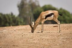 Maschio del Gazelle del Thomson Immagini Stock Libere da Diritti