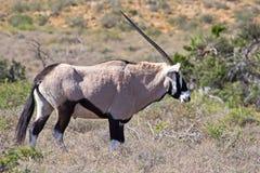 Maschio del Gemsbok con i corni lunghi Fotografia Stock Libera da Diritti