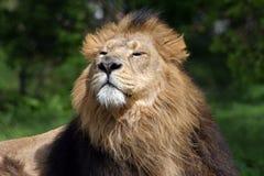 Maschio del leone fotografie stock libere da diritti