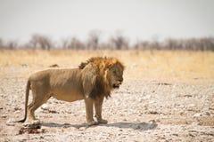 Maschio del leone Fotografia Stock