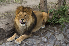 Maschio del leone che lecca le sue labbra Immagine Stock