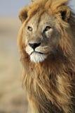Maschio del leone con la grande criniera dorata, Serengeti Fotografia Stock