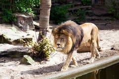 Maschio del leone in zoo Fotografie Stock