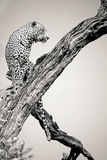 Maschio del leopardo in bianco e nero Fotografia Stock