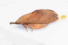 Maschio del lepidottero di mussolina marrone Fotografie Stock
