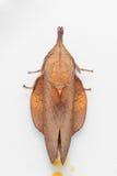 Maschio del lepidottero di mussolina marrone Fotografia Stock Libera da Diritti