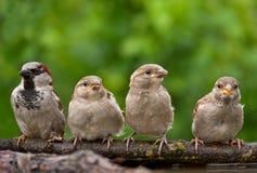 Maschio del passero con i suoi bambini appollaiati insieme nel telaio immagini stock libere da diritti